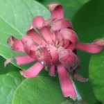 Calycanthus fertilis/ Eastern Sweetshrub/ クロバナロウバイ