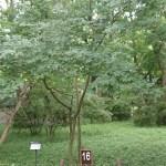 Acer maximowiczianum/ Nikko maple/ メグスリノキ