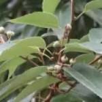 Quercus myrsinifolia/ Bamboo-leaf oak/ シラカシ
