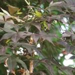 Acer amoenum / Japanese maple (omomizi)/ オオモミジ ノムラカエデ