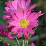 Chrysanthemum morifolium/ Florist's daisy/ キク 菊
