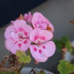 Pelargonium zonale/ Horse-shoe pelargonium/ テンジクアオイ