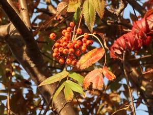Sorbus commixta/ Japanese Rowan/ ナナカマド