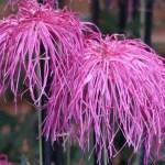 Florist's daisy/ キク 伊勢菊
