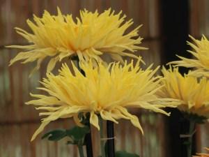 Florist's daisy/ キク 江戸菊