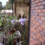 Moraea polystachya/ Butterfly Iris/ モラエア・ポリスタキア