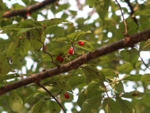 Cornus officinalis/ Cornelian cherries/ サンシュユの実