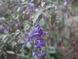 Salvia farinacea/ Mealycup sage/ サルビア・ファリナセア