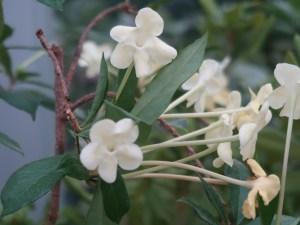 Brunfelsia americana/ Lady of the Night/ アメリカバンマツリ