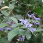 Clerodendrum ugandense/ Blue Butterfly Bush/ ブルーエルフィン  クレロデンドロン・ウガンデンス