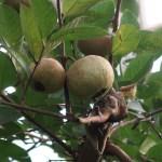Psidium guajava/ Guava/ グアバ