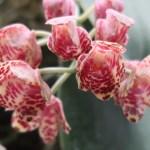 Phalaenopsis gigantea/ ファレノプシス・ギガンテア