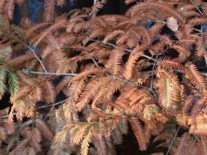 Metasequoia glyptostroboides/ Dawn redwood/ メタセコイア