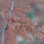 Taxodium distichum/ Bald cypress/ ラクウショウ