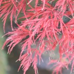 Acer amoenum var. matsumurae/ Japanese maple (yamamomiji)/ ヤマモミジ ベニシダレ