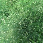 Asparagus (officinalis)/ Asparagus/ アスパラガス