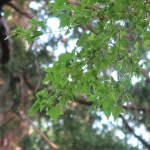 Acer buergerianum/ Trident maple/ トウカエデ
