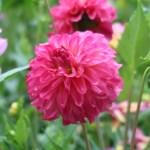 Dahliaダリア Stellar Flowered Dahlias(ST)/ ステラ