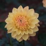 Dahliaダリア Formal Decorative dahlias (FD)/ フォーマル・ディコラティブ ひだまり