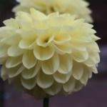 Dahliaダリア Formal Decorative dahlias (FD)/ フォーマル・ディコラティブ 柚月