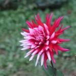 Straight Cactus dahlias (STC) / ストレート・カクタス 冬の星座