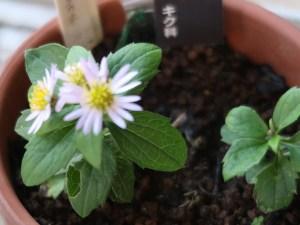 Aster viscidulus var. alpinus/ タカネコンギク