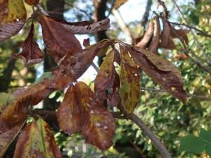 Magnolia obovata/ Japanese Bigleaf Magnolia/ ホウノキ 朴の木