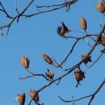 Liriodendron tulipifera/ Tulip tree/ ユリノキ 百合の木