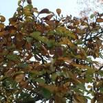 Magnolia denudata/ White magnolia・ハクモクレン 白木蓮