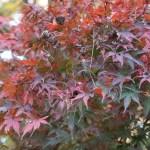 Acer amoenum var. matsumurae/ Japanese maple (yamamomiji)/ ヤマモミジ 松風