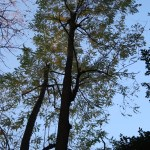 Robinia pseudoacacia/ Black locust/ ニセアカシア