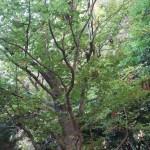 Fagus sylvatica/European beech / ヨーロッパブナ