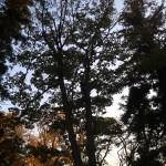 Cornus macrophylla/ Large-Leaf Dogwood/ クマノミズキ