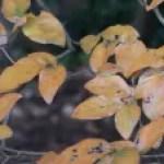 Lindera glauca/ Spicebush/ ヤマコウバシ 山香ばし
