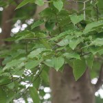 Fagus crenata/ Japanese Beech/ ブナ橅