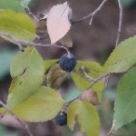 Aphananthe aspera/ Scabrous aphananthe/ ムクノキ
