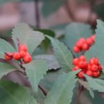 Sarcandra glabra/ Chloranthus/ センリョウ