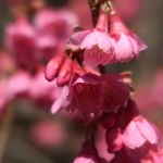 Cerasus campanulata/ Cherry var. Hikanzakura/ カンヒザクラ