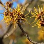 Hamamelis japonica/ Witch-hazel/ マンサク