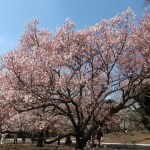 Cerasus 'Takatoh-kohigan'/ Cherry variety Takatoh Kohigan/ タカトウコヒガン 高遠小彼岸