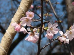 Cerasus 'Benidzuru'/ Cherry variety Benidzuru/ ベニヅル紅鶴