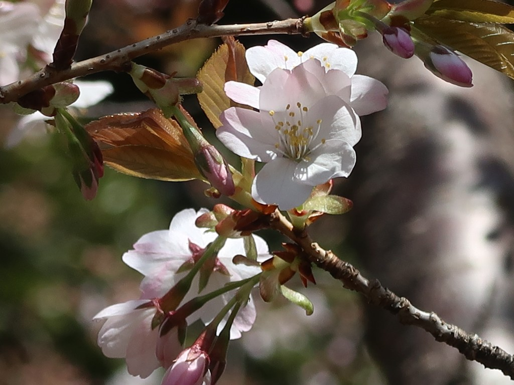 "Cerasus ""Sakon""/ Cherry var. Sakon/ サコンノサクラ 左近の桜"