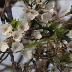 Cerasus serrulat 'Nigrescens'/ Cherry var. Usuzumi/ ウスズミ 薄墨