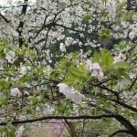 Cerasus x yedoensis 'Sotorihime'/ Cherry var. Sotoorihime/ ソトオリヒメ