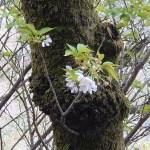 Cerasus serrulate 'Kokeshimidsu'/ Cherry var. Kokeshimidzu/ コケシミズ,苔清水