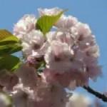 Cerasus speciosa 'Yaebeni-ohshima'/ Cherry var. Yae Beniooshima/ ヤエベニオオシマ