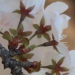 """Cerasus × yedoensis """"Someiyoshino""""/ Cherry var. Someiyoshino/ ソメイヨシノ"""
