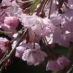 Cerasus spachiana 'Plena-Rosea' / Cherry var. Yae Benishidare/ ヤエベニシダレ