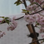 """Cerasus serrulata """"Haruka""""/ Cherry var. Haruka/ ハルカ はるか"""