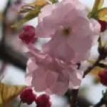 Cerasus serrulata 'Gosiozakura'/ cherry var. Gosyozakura/ ゴショザクラ